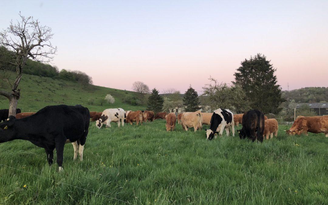 Der Zug der Herde über die Weiden beginnt